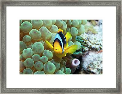 Clownfish In Anemone Framed Print by Georgette Douwma