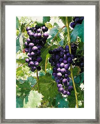 Clusters Of Red Wine Grapes Hanging On The Vine Framed Print by Lanjee Chee