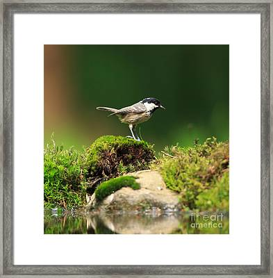 Coal Tit Parus Ater Framed Print by Louise Heusinkveld