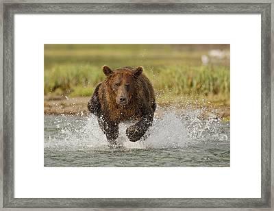 Coastal Grizzly Boar Fishing Framed Print by Kent Fredriksson