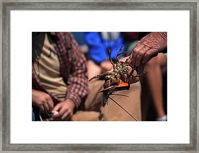 Coastal Maine Is Lobster Framed Print by Karol Livote