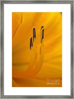 Cobras Inside A Day Lily  Framed Print by Henry Kowalski