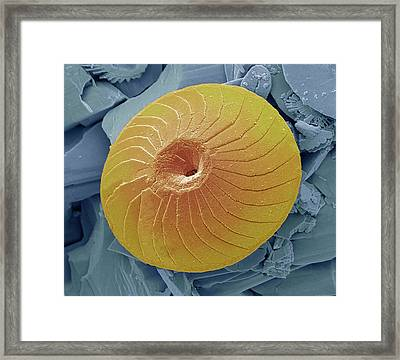 Coccolith Framed Print by Steve Gschmeissner