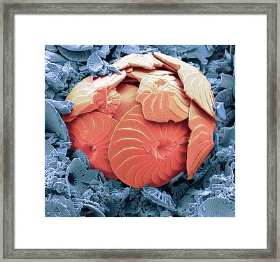 Coccolithophore Shell Framed Print by Steve Gschmeissner