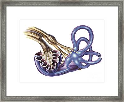 Cochlea Detail With Vestibulocochlear Framed Print by TriFocal Communications