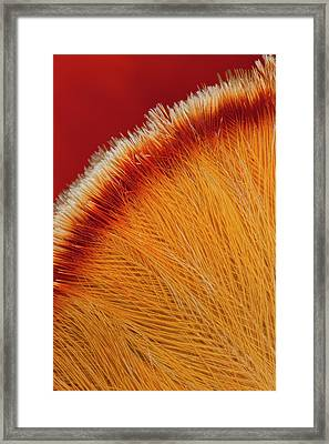 Cock-of-the-rock Feathers On Top Of Head Framed Print by Darrell Gulin