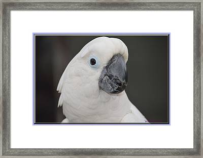 Cockatoo Close Up Framed Print by Wendy Fox