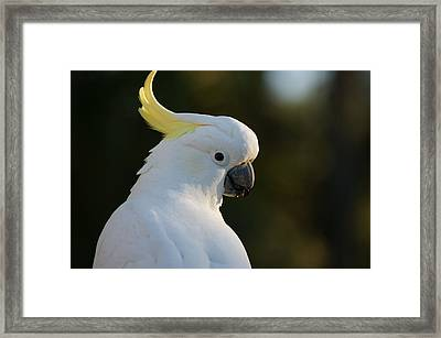 Cockatoo Framed Print by FL collection