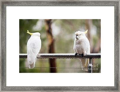 Cockatoo's In Rain Framed Print by Tim Hester