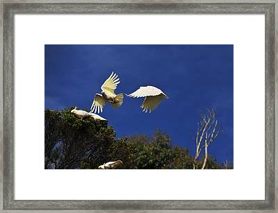 Cockatoos On The Wing Framed Print by Harry Spitz