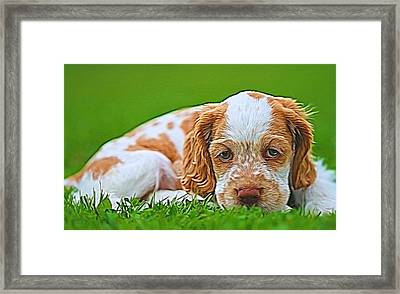 Cocker Spaniel Puppy In Grass Framed Print by Dan Sproul