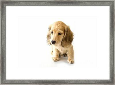 Cocker Spaniel Puppy Framed Print by Marvin Blaine