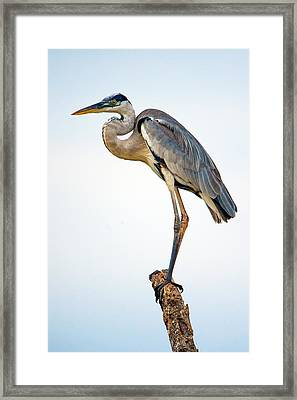 Cocoi Heron Ardea Cocoi, Pantanal Framed Print by Panoramic Images