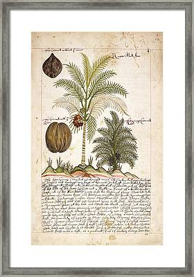 Coconut Palm Tree Framed Print by British Library