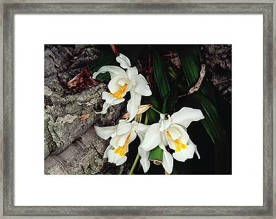 Coelogyne Cristata Epiphytic Orchid Framed Print by Michael R Chandler