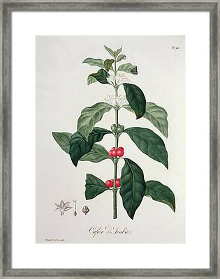 Coffea Arabica From Phytographie Framed Print by L.F.J. Hoquart