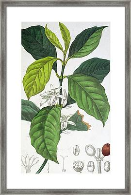 Coffea Arabica Framed Print by Pancrace Bessa
