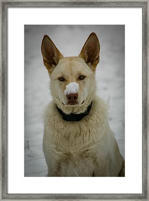 Cold Nose Framed Print by Paul Freidlund