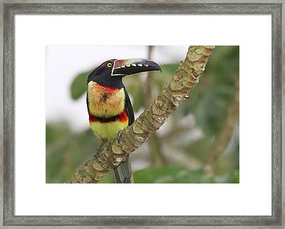 Collard Aracari (pteroglossus Torquatus Framed Print by William Sutton