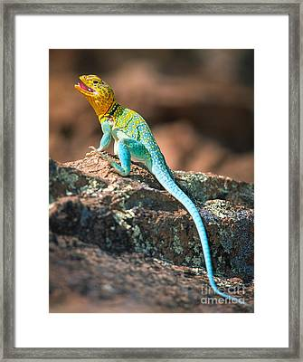 Collared Lizard Framed Print by Inge Johnsson