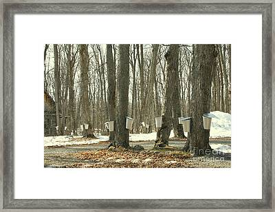 Collecting Sap For Maple Syrup Framed Print by Nadine Mot Mitchell