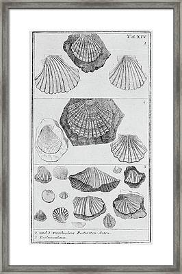 Collection Of Molluscs Framed Print by Natural History Museum, London