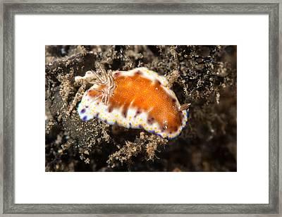 Collingwoods Chromodoris Nudibranch Framed Print by Andrew J. Martinez