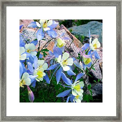 Colorado Blue Columbine Framed Print by Julie Magers Soulen
