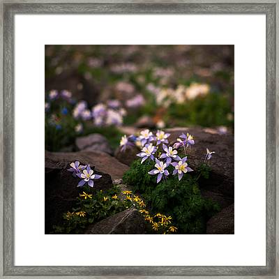 Colorado Columbine Glamour Shot Framed Print by Mike Berenson