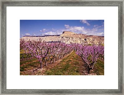 Colorado Orchards In Bloom Framed Print by Teri Virbickis