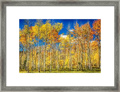 Colorful Colorado Autumn Aspen Trees Framed Print by James BO  Insogna
