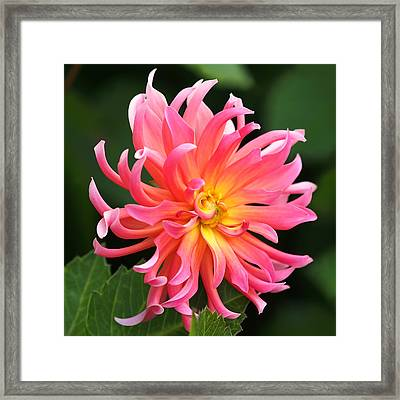 Colorful Dahlia Framed Print by Rona Black