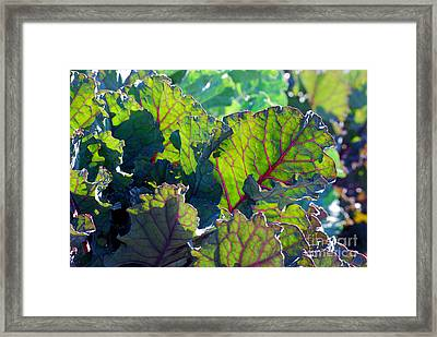 Colorful Swiss Chard Framed Print by Nancy Mueller