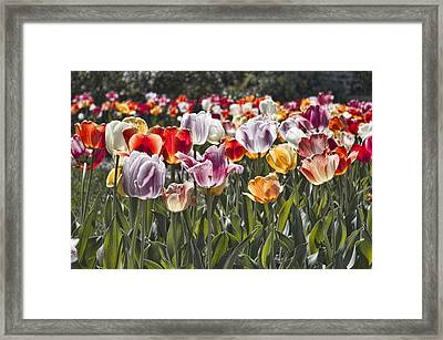 Colorful Tulips In The Sun Framed Print by Sharon Popek