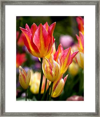 Colorful Tulips Framed Print by Rona Black