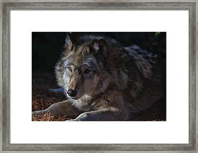 Colors Of A Wolf Framed Print by Karol Livote