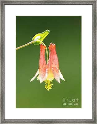 Columbine Flower In Sunlight Framed Print by Robert E Alter Reflections of Infinity
