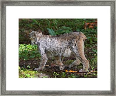Lynx Stare Framed Print by Mike Dawson