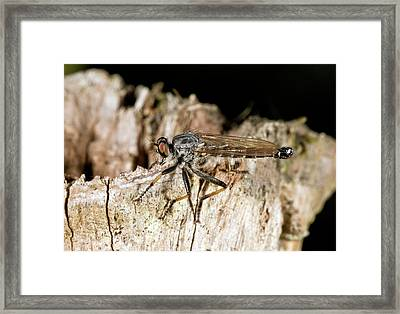 Common Awl Robber-fly Framed Print by Bob Gibbons