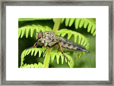 Common Awl Robberfly Framed Print by Nigel Downer