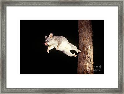 Common Brush-tailed Possum Framed Print by BG Thomson