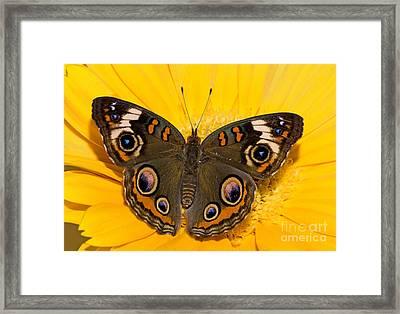 Common Buckeye Butterfly Framed Print by Millard H Sharp