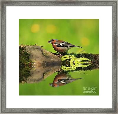 Common Chaffinch Fringilla Coelebs Male Framed Print by Louise Heusinkveld