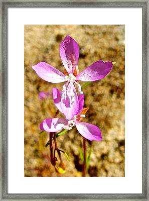 Common Clarkia In Park Sierra-ca Framed Print by Ruth Hager