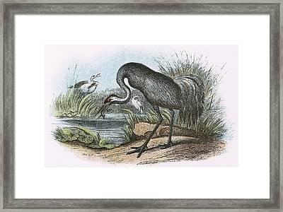 Common Crane Framed Print by English School