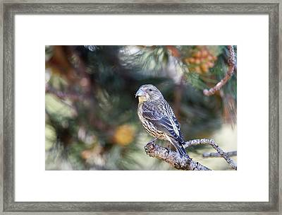 Common Crossbill Juvenile Framed Print by Dr P. Marazzi