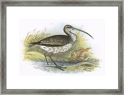 Common Curlew Framed Print by English School