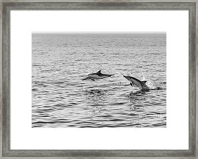 Common Dolphins Leaping. Framed Print by Jamie Pham