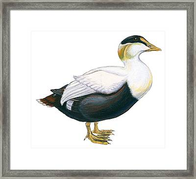 Common Eider Framed Print by Anonymous