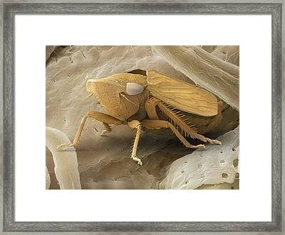 Common Froghopper, Sem Framed Print by Power And Syred